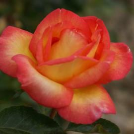 160508.Rose Roberto Alagna.15 ko